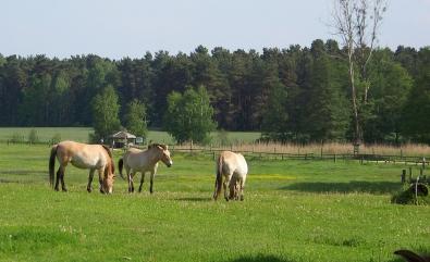 galeriebild-wildpark-schorfheide-wildpferde