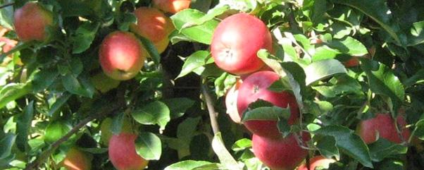 Äpfel selber pflücken in Brandenburg © ytti.de