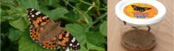 Wunderschöner Schmetterling-Der Distelfalter