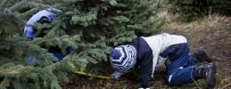 Weihnachtsbaum-selber-schlagen-Schonung-Mellensee-Artikelbild 2
