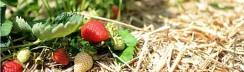 Erdbeeren-selbst-pfluecken-Obstgut-Mueller