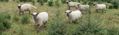 Weihnachtsbäume mit Schafen