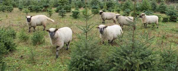 weihnachtsbaum selber schlagen pflanzen kaufen dort wo. Black Bedroom Furniture Sets. Home Design Ideas