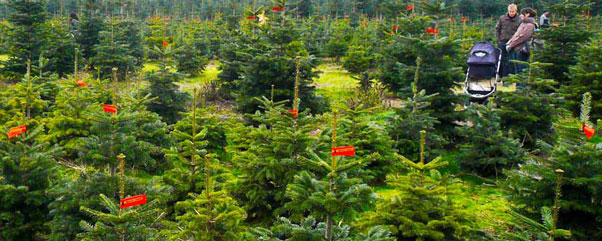 Tannenbaum Selber Schlagen.Auf Dem Kramerwaldhof Kohler Weihnachtsbaum Selber Schlagen