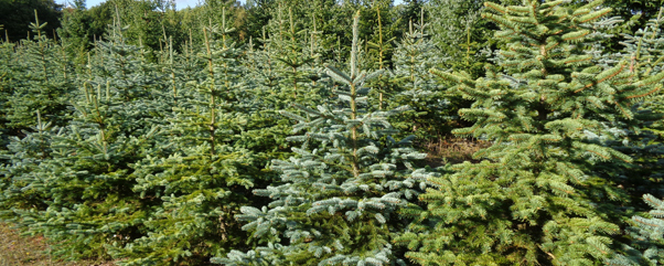 Weihnachtsbaum selbst schlagen in Berlin und Brandenburg