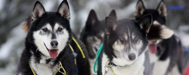 Internationales Schlittenhunde-Rennen auf dem Spargelhof Klaistow