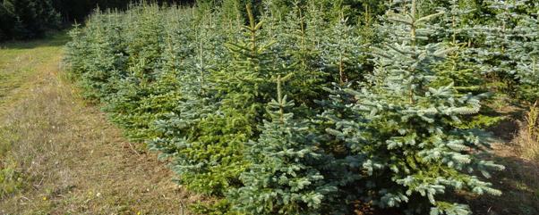 Tannenbaum Selber Schlagen.Weihnachtsbaum Selbst Schlagen Im Kleinen Dorf Holzhausen