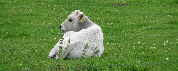 Fräulein Brehms Tierleben Bos primigenius taurus – Die Kuh Welturauffuehrung im Natur-Park Schoeneberger Suedgelaende Berlin