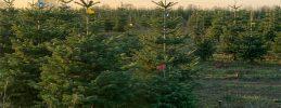 Weihnachtsbäume selber sägen/schlagen oder schon gesägte Weihnachtsbäume einfach nur aussuchen