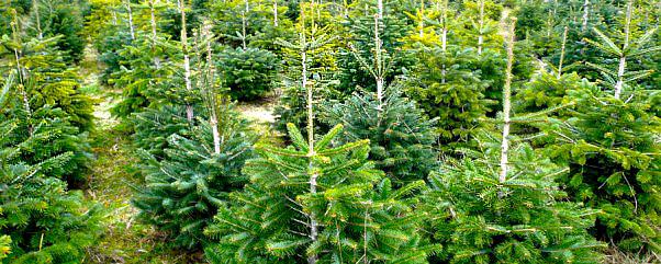 Weihnachtsbaum selber schlagen berlin spandau