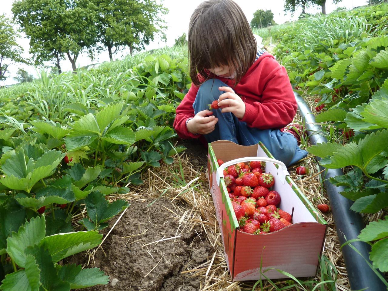Erdbeeren selber pflücken berliner beerengarten