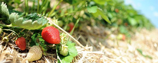 obstgut m ller erdbeeren selbst pfl cken m ller obstgut erdbeeren wesendahl. Black Bedroom Furniture Sets. Home Design Ideas