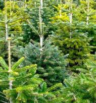 waldweihnacht und weihnachtsbaum selber schlagen in der. Black Bedroom Furniture Sets. Home Design Ideas