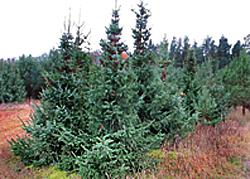 Weihnachtsbaum selber schlagen berliner forsten